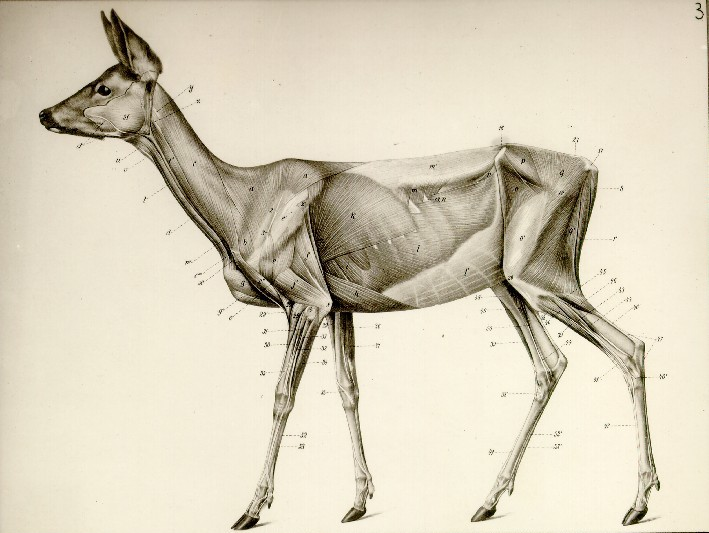 A Handbook of the Anatomy of Animals · Digital Exhibits - UWM ...